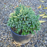 JUNIPERUS-BLUE-STAR