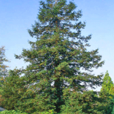 SEQUOIA-SEMPERVIRENS